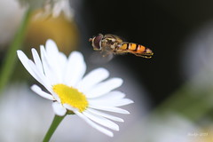 IMG_012150 - Destination (Monique van Gompel) Tags: 7dwf tamronsp90mmf28dimacro11vcusd tamronsp90mm macrofotografie macrophotography nature natuurfotografie naturephotography zweefvlieg syrphidae hoverfly kamille chamomile camomile