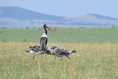 Hora de comer (David Perez Lopez) Tags: jabirúafricano saddlebilledstork ephippiorhynchussenegalensis kenia mara nikon d4s 200400vrii