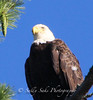 IMG_7212 3baldeaglecopygr (Sally Knox Sakshaug) Tags: ourdoors nature wildlife bald eagle symbole americal usa perched tree looking up closeup majestic adult brown white eye beak golden