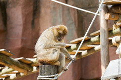 IMG_0595.jpg (wfvanvalkenburg) Tags: ouwehandsdierenpark monkey familie
