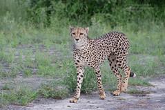 Female Cheetah - Acinonyx jubatus (rosebudl1959) Tags: 2017 botswana nxaipan cheetah female