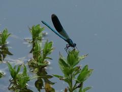 Libelle (germancute) Tags: nature outdoor park plant pond teich landscape landschaft thuringia thüringen