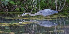 "Heron, Hunting (dcstep) Tags: aurora colorado unitedstates us n7a4124dxo handheld canon5dmkiv ef500mmf4lisii allrightsreserved copyright2017davidcstephens dxoopticspro114 ""cherry creek state park"" pond reflection greatblueheron heron"