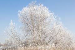 Winter tree (Namanka) Tags: winter winterlandscape appletree bluesky cold cristal december february frost frosty frostytree hollyday ice january light magic nature road season snow snowfalls snowflakes tree winterscene