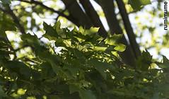 Morning Sun (rumimume) Tags: potd rumimume 2017 niagara ontario canada photo canon 80d sigma olours outdoor sun summer nature leaff tree shade shadow