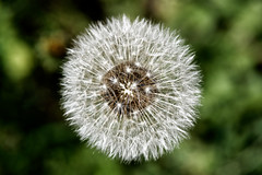 Ball of seeds (bbarekas) Tags: ball dandelion taraxacum seeds plant white green 100mm macro dof megalopoli arcadia greece