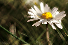 Daisy with small caterpillar (d heinz) Tags: daisy raupe caterpillar daguerreotype achromat brass lens gänseblume
