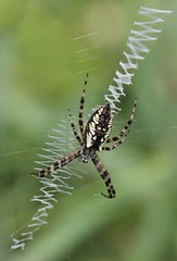IMG_8134a - TBD spider - unique web pattern and body protrusions - Zephyr, Ontario, Canada (Wayne W G) Tags: canada northamerica ontario durham uxbridge zephyr tamron sp af 60mm f2 diii ld if macro 11 model g005