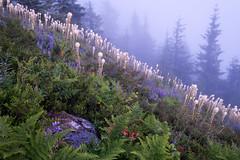 Goodnight flowers (Laura Jacobsen) Tags: alpinelakeswilderness bandera banderamountain hiking i90 iraspringtrail littlebandera mountains sunset trails washington wildflowers