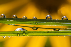 NSFF - The Nature's Secret Flower Factory (lkiraly72) Tags: nature secret flower factory thenaturessecretflowerfactory happy bright shining funny macro waterdrop droplet yellow
