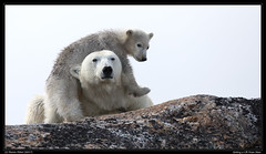 Getting a Lift From Mom (Sharon's Nature) Tags: arctic svalbard svalbardarctic motherandcub polarbear ursusmaritimus
