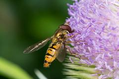 Hoverfly - Episyrphus balteatus (Graham Dash) Tags: episyrphusbalteatus hoverflies insects