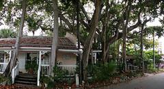 Old Sarasota. Under a banyan tree. (lada/photo) Tags: banyantree trees sarasotafl ladaphoto