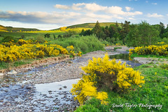 Gorse and the River Breamish (dtaylorphotography) Tags: breamishvalley british cheviots england greatbritain hills landscape natural nature nnp nnpa northeast northumberland northumberlandnationalpark outdoors uk unitedkingdom