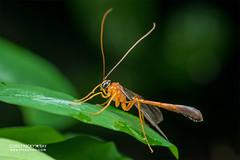 Ichneumon wasp (Enicospilus sp.) - DSC_5921 (nickybay) Tags: singapore venusdrive macro ichneumonidae enicospilus ichneumon wasp