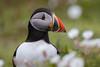 Puffin (Shane Jones) Tags: puffin bird beak wildlife nature skomer nikon d500 200400vr tc14eii