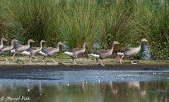 Follow the (goose) leader to the water (CapMarcel) Tags: follow goose leader water ganzen pas