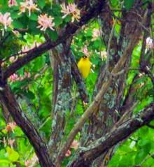 YFinchDSCN6752 (dodochampo) Tags: oiseau goldfinch chardonneret