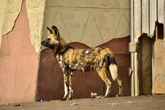 African Wild Dog, West Midlands Safari Park, Bewdley 09/04/2017 (Gary S. Crutchley) Tags: animals west midlands safari park white tiger wild dog uk great britain england united kingdom westmidlands nikon d800 travel nikkor afs 28300mm f3556g ed vr