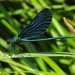 The Beautiful Demoiselle, Calopteryx virgo