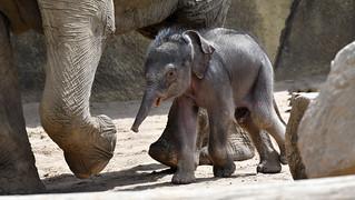 Kitai  -   Elefantenbaby im Kölner Zoo