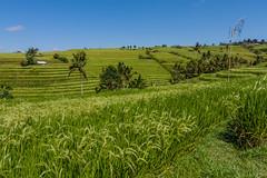IMG_0648 (Ela&Piotr) Tags: bali indonesia indonezja jatiluwih ricefields