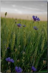 Blanc,Blé,Bleu... (jamesreed68) Tags: blé fleurs paysage nature canon eos 600d