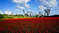 P A P A V E R I (Franco Vannini) Tags: tuscany toscana colonnedelgrillo papaveri poppies