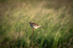 DSC_4658 (Evo800) Tags: walks cooper sky grass cloulds sunset water forth scotland nikon d610 deer skylark