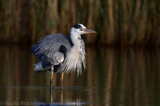 Grey Heron with ruffled feathers 81295