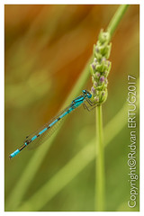 Common Blue Damselfly / Enallagma cyathigerum (I'll catch up with you later, your comments and cr) Tags: bluetaileddamselfly nikon60mmf28 macro nikond610fx rertug