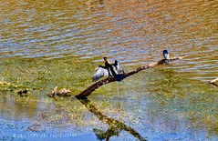 Wildlife at Ranthambhore National Park (Immature Photography LLP) Tags: waterbody lake pond india wildlife nationalpark ranthambhore