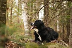 Daisy (MJC.Photography) Tags: dog dogs animal animals mydog labernois blackdog dogphotography myanimal lovedog