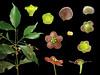 Celastraceae Euonymus laxiflorus (taiwanicus) Tags: 兩性花 bisexual flower 柱頭 stigma 子房 ovary 雌蕊 pistil 雄蕊 stamen