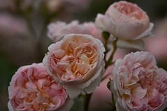 Rose 'Evelyn' raised in UK (naruo0720) Tags: rose englishrose evelyn bredbydavidaustin englishrosescollection バラ イギリスのバラ エブリン オースティンのバラ イギリスのバラコレクション