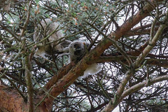 Hibou moyen duc. Rhône. (stephane.henry05) Tags: animaux france hiboumoyenduc oiseaux parcdeparilly rapace rhône