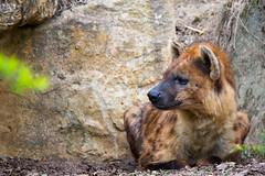spotted hyena (Cloudtail the Snow Leopard) Tags: hyäne spotted hyena animal tier säugetier mammal tüpfelhyäne fleckenhyäne crocuta laughting zoo amneville