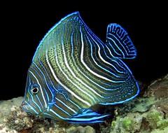 Pomacanthus semicirculatus (jeanmarie.gradot) Tags: angelfish seychelles lazio poissonange semicirculatus pomacanthus praslin snorkeling pmt underwater tropical