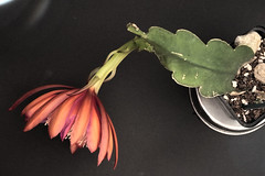 Epiphyllum Golden Harvest (nitedojo) Tags: