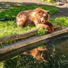 Chilling in the sun (markus.weinriefer) Tags: park water nature tree summer brown grass animal wood zoo wildlife fur bear outdoors big wild predator mammal chilling relaxing carnivore grizzly no person