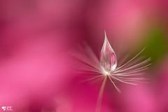 ''Daydream!'' (pascaleforest) Tags: macro passion nikon sigma nature pink rose perle eau water akènesàaigrettes
