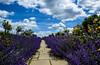 Nature in Westerham, England. (ost_jean) Tags: ostjean nikon d5200 tamron sp af 1750mm f28 xr di ii vc ld aspherical if b005n nature landscape colors couleurs bleu wolken nuages england engeland angleterre lavendel fleurs bloemen flowers nuage westerham