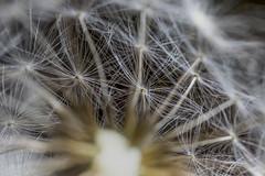 Dandelion 2 (shannon_blueswf) Tags: dandelion flower macro seed flora delicate summer bright weed beautiful frail light photooftheday oneaday nikon nikond3300 nikonphotography