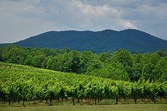 CALS.WesternNC.Surry.6810 (ncsuweb) Tags: vines vineyard cals westernnc mountains surry field wine wines green hill