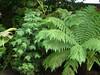 Wollemia Nobilis 16.07.2013. (NashiraExoticGarden) Tags: wollemianobilis exotentuin exoticgarden 16072013