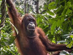 Orang Utan (Vale Boy) Tags: orangutan ape rehabilitation rainforest jungle manoftheforest