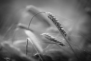 Barley head in Black and White