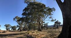 Arkaba Trees IMG_1309s (Bush Philosopher - Dave Clarke) Tags: australia flindersranges southaustralia tree gumtree arkabacreek riverredgum