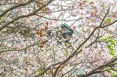 DSC_4500 (Frankie Tseng (法蘭基)) Tags: yms taipei taiwan flower flowers nikon cherryblossoms summer spring 2017 abstract blur bw bwphotography blackwhite yangmingshan 台北 櫻花 陽明山 台灣 抽象
