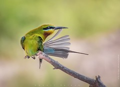 Blue-tailed Bee Eater (stunningphotosofpk) Tags: beeeater birdsbirdsbirds birds perch colorful bnsbirds igbirds nutsaboutbirds 500px premium top10